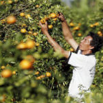 Orange production up, prices down